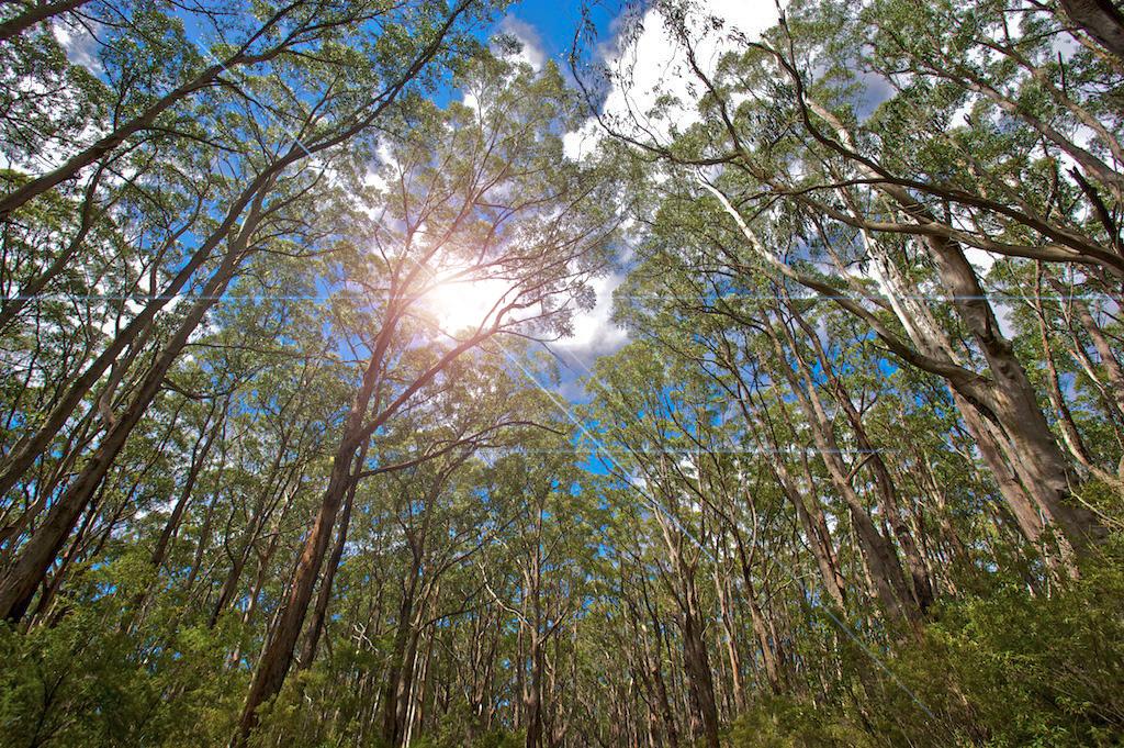 Foret d'eucalyptus
